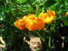 Scotch Bonnet Jamaican Yellow
