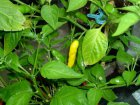Aji Lemon Drop