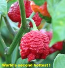 Trinidad Moruga Scorpion Red 2nd  Hottest